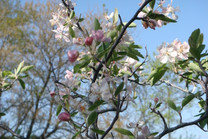 The Prairie Crabapple (Malus ioensis)