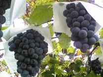 Black Muscat Grape