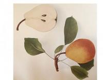 Beurre Diel Pear (standard)