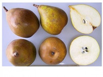 Beurre Superfin Pear (semi-dwarf)