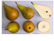 Conference Pear (semi-dwarf)