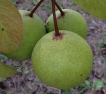Gin Perry Pear (semi-dwarf)