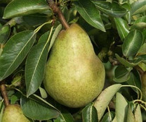 Williams Pear (see Bartlett) (standard)