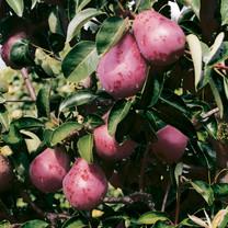 Williams Red Pear (medium)