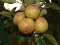 Brown Snout Apple (dwarf)