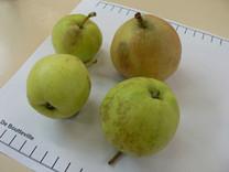 De Boutteville Apple (dwarf)