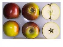 Hubbardston Nonsuch Apple (dwarf)