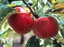 Improved Foxwhelp Apple (dwarf)