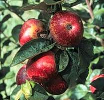 Kingston Black Apple (dwarf)