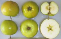 Bulmer's Norman Apple (dwarf)