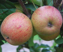 Forfar Pippin Apple (dwarf)
