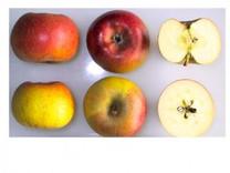 Court Pendu Plat Apple (medium)