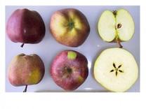 Delicious Apple (medium)