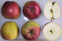 Dorsett Golden Apple (medium)