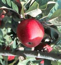 Tremlett's Bitter Apple (medium)
