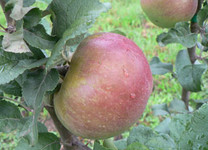 Belle Cacheuse Apple (medium)