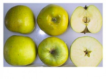 Bedfordshire Foundling Apple (stepover)