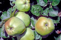 Catshead Apple (stepover)