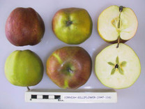 Cornish Gilliflower Apple (stepover)