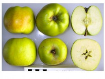Gooseberry Apple (stepover)