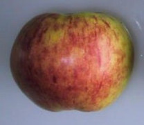 Gravenstein Apple (stepover)