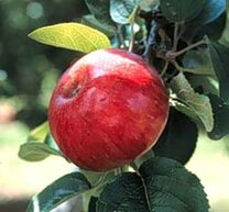 Somerset Redstreak Apple (stepover)