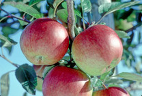 Braeburn Apple (tall)
