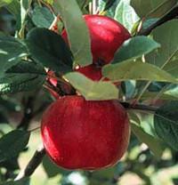 Breakwell's Seedling Apple (tall)