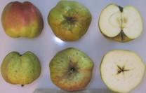 Calville Blanc d'Hiver Apple (tall)