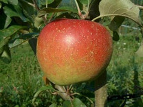 Esopus Spitzenburg Apple (tall)