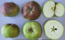 Five Crown (London Pippin) Apple (tall)
