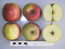 Fuji Apple (tall)
