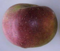 King of Tompkin's County Apple (tall)