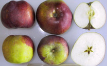 Cortland Apple (dwarf)