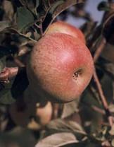 Foxwhelp Apple (tall)