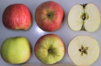 Lady Sudeley Apple (medium)