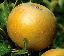 Roxbury Russet Apple (stepover)