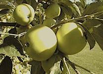 Reine des Hâtives Apple (tall)