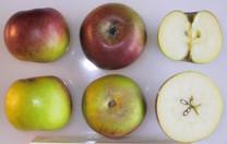 Verité Apple (tall)