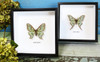 Moon moths and butterflies Graellsia isabellae Bits and Bugs