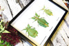 Phyllium leaf insect Bits & Bugs