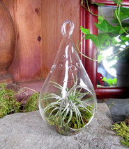"""Tillansia """"Air Plant"""" in Hanging Orb"""