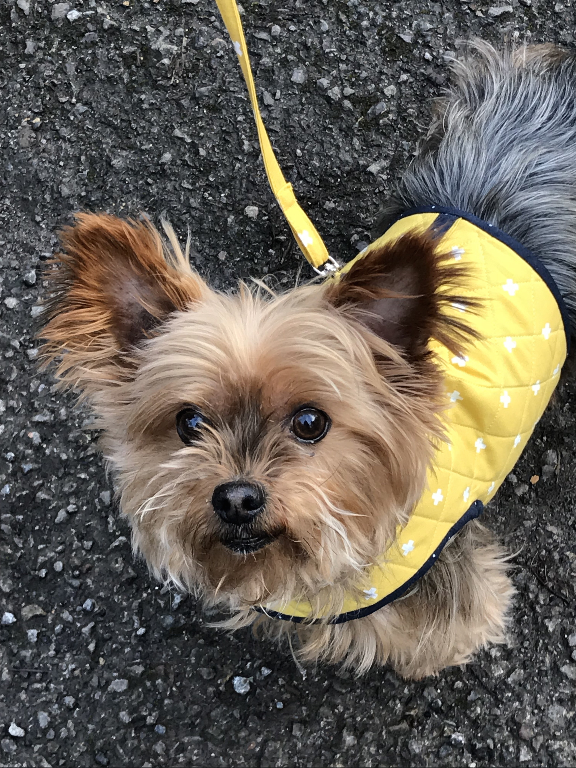 Adorable Yorkie Face