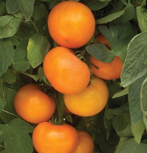 BHN 871 F1 Tomato - Pelleted