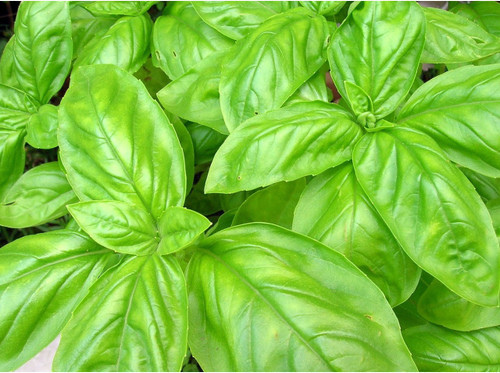 Basil - Sweet (Italian Large Leaf)