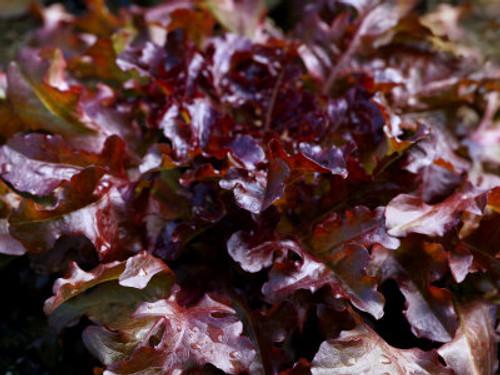 Salad Bowl, Red