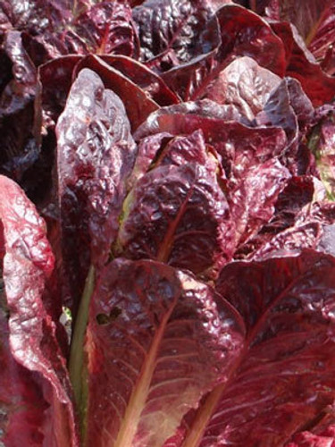 Super Red Romaine