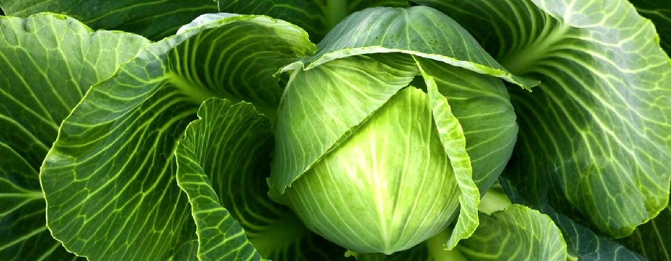 cabbage-category.jpg