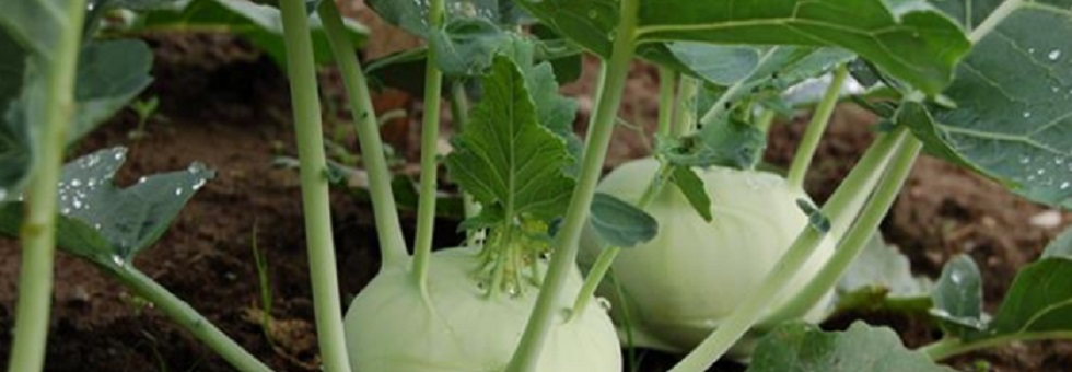 kohlrabi-category.jpg