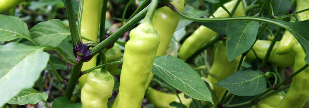 pepper-category.jpg